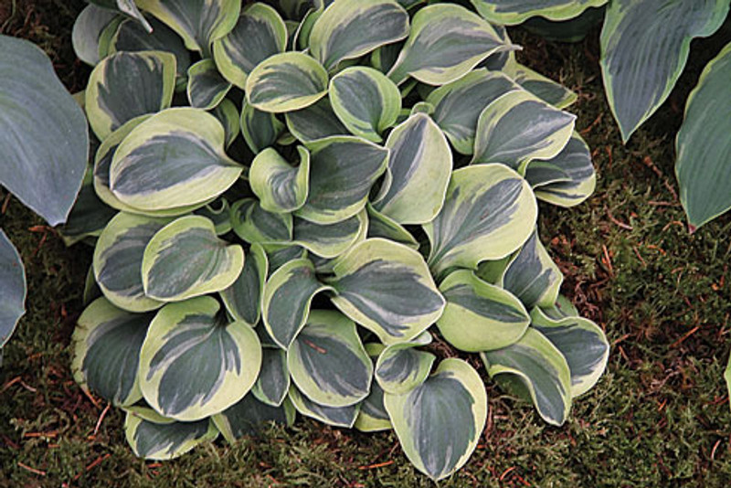 Hosta Frosted Mouse Ears