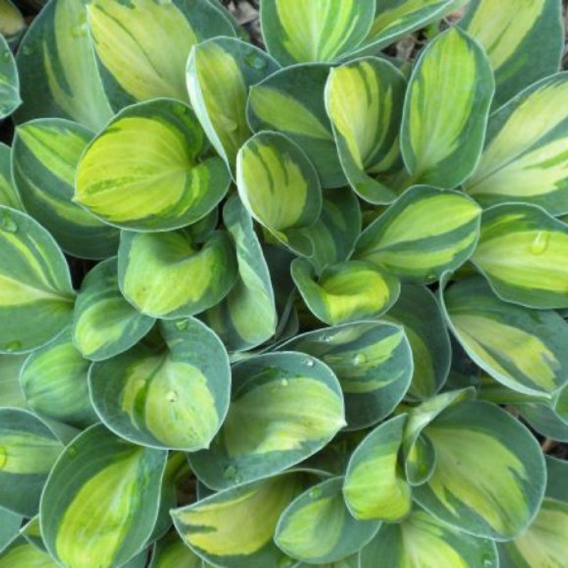 Hosta Holy Mouse Ears