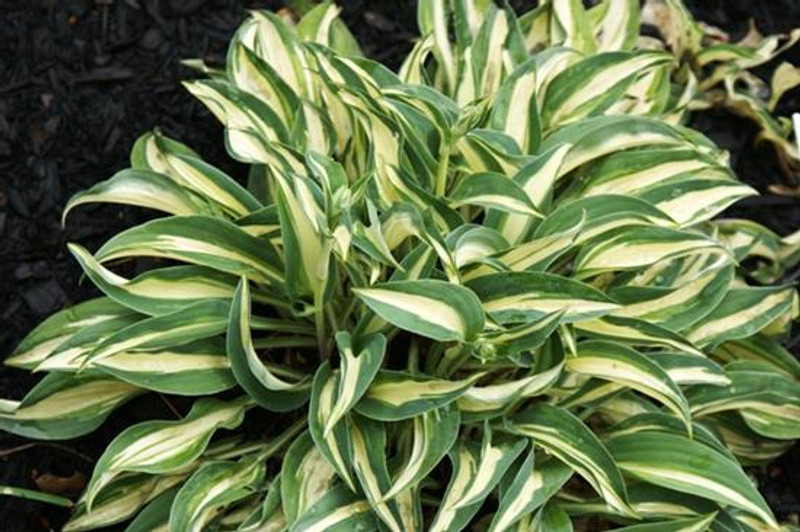 Hosta Little Treasure - Small Hosta