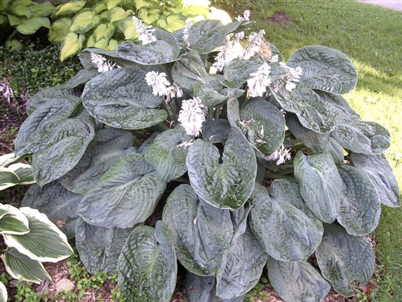 Hosta Blueberry Waffles - Large Blue Hosta