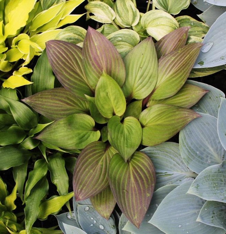 Hosta First Blush - The First Red Leaf Hosta