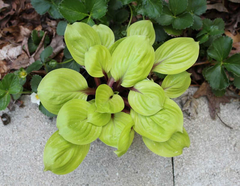 Hosta Lemon Kiss  - Miniature, small yellow hosta with red petioles