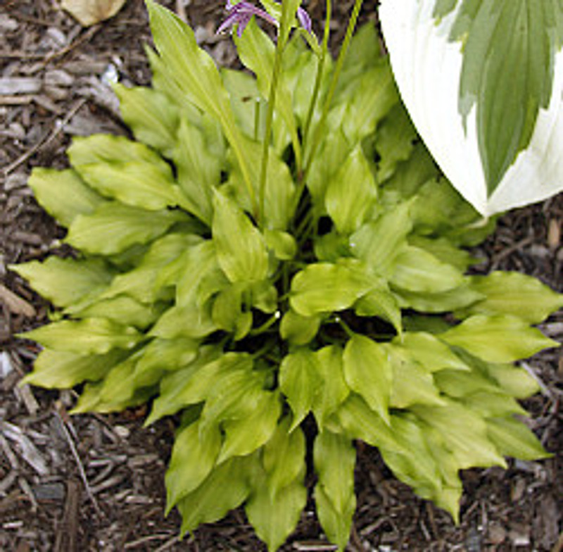 Hosta Lemon Love Note- Bright yellow small hosta
