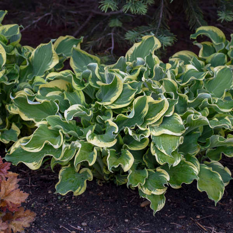 Hosta 'Wheee!' PP23565