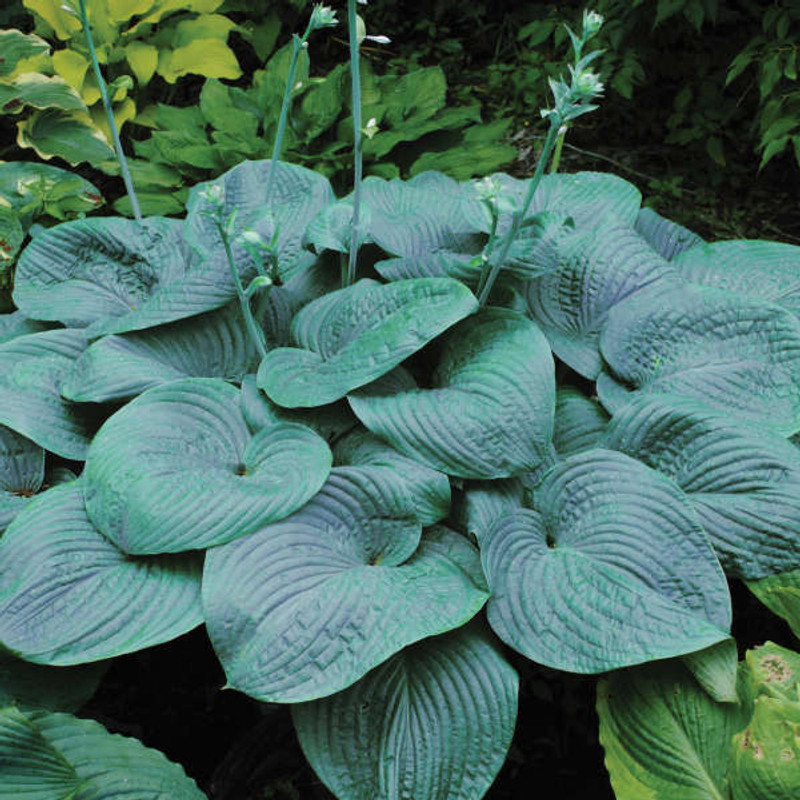 Hosta Humpback Whale Giant Blue Hosta