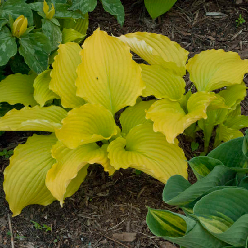 Hosta Dancing Queen  Bright yellow hosta with a wavy edge