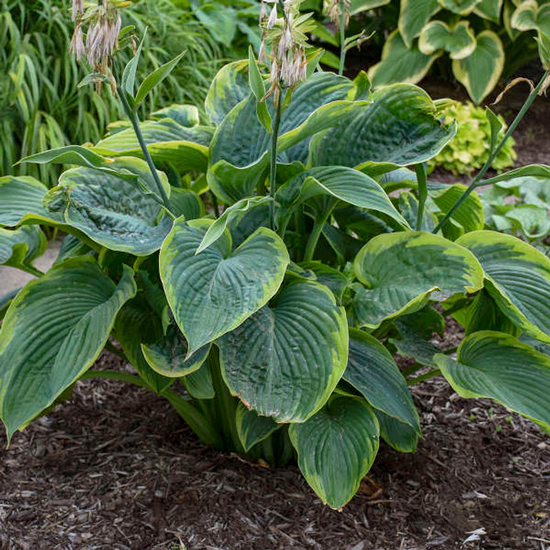 Hosta Wu La La giant variegated