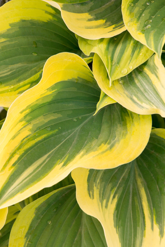 Hosta Liberty Leaf