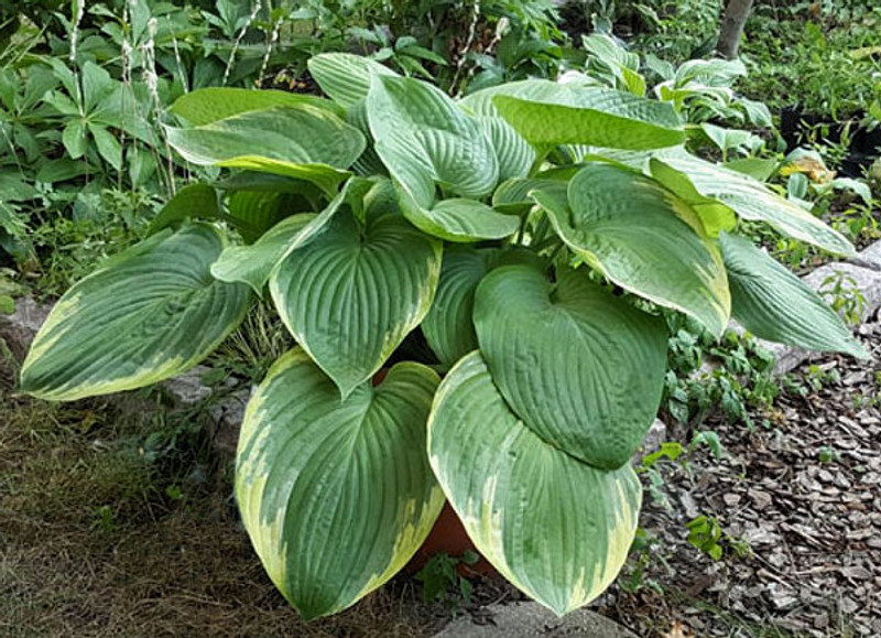 Hosta 'Great White Whale' very large