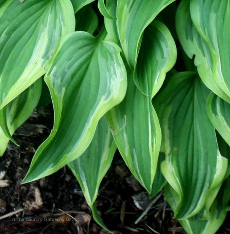 Hosta 'Wonderland' leaf