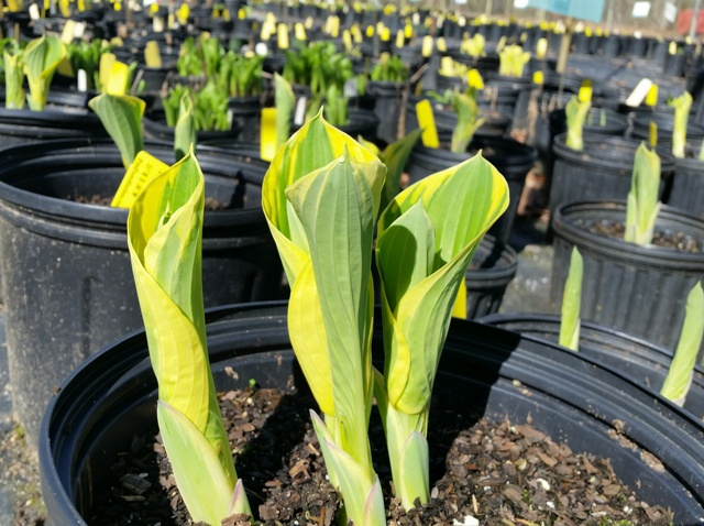 Late Winter/ Early Spring Hosta Care