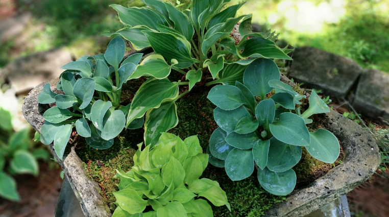 ​Growing Hostas in Containers
