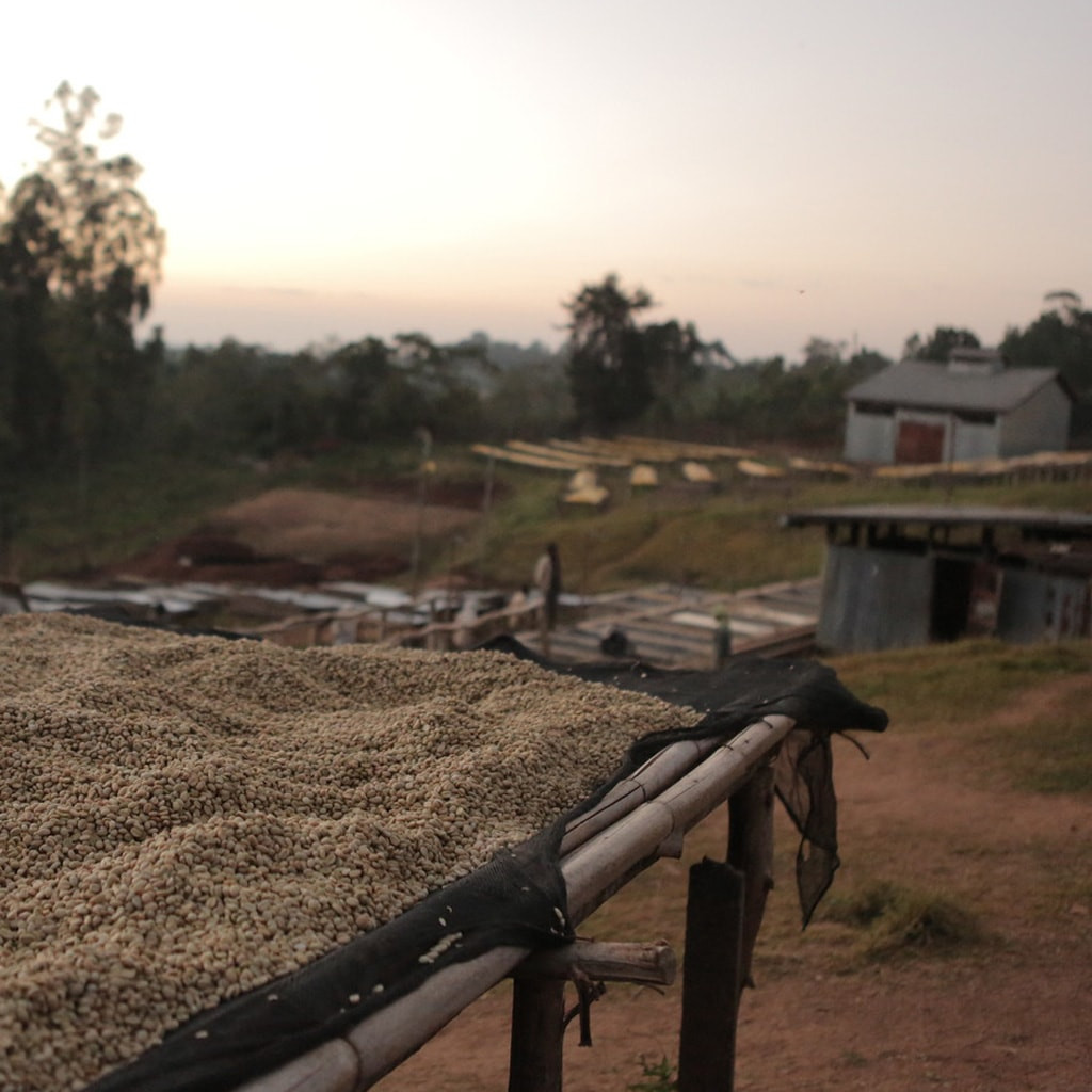 Coffee drying in Sidama, Ethiopia.