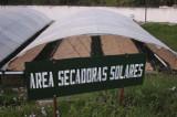 Green Honduras Coffee Beans drying under the sun's rays