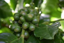 Green Honduras Coffee Beans growing on a COMSA member organic coffee farm