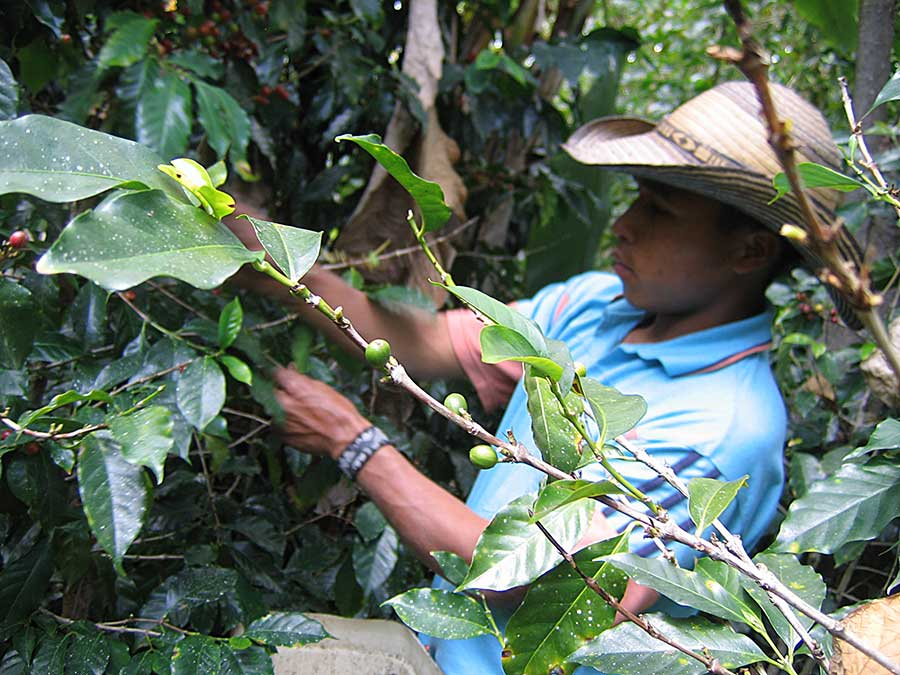 Campesino in El Salvador harvesting shade grown coffee.