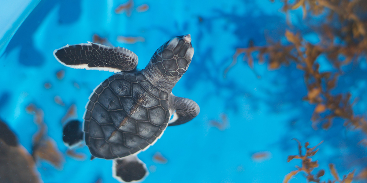 Welcome to our Estore. Your purchase directly supports our work in sea turtle and ocean conservation.