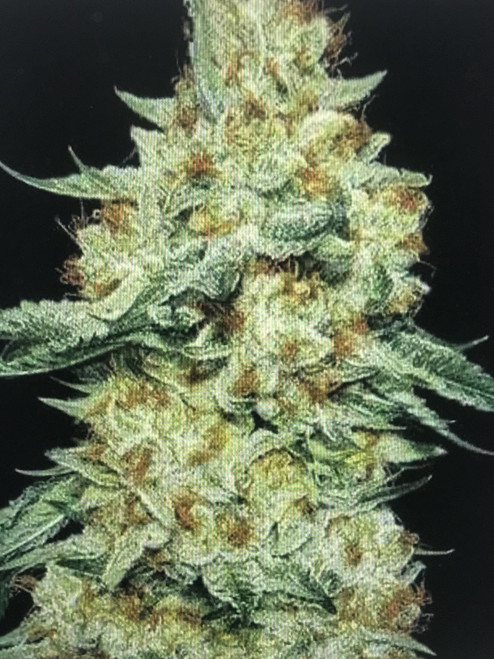 Member Berry  SKUNK BERRY x MANDARIN SUNSET  Large yields of truly boutique flowers. Sweet and tart citrus / floral flavors are often accompanied by an old school skunk in certain phenos. Heavy, long lasting hybrid effects. Do you member?!  • Available in either 5 or 10 AlphaFem™ Seeds  • Cup Winner: Flower and Extract  • Yield: 60-80 grams/sq ft  • Days of Flower: 60-65  PHENOTYPE VARIATION  • Plant Morphology: Low (30/100)  • Flower Morphology: High (70/100)  • Extracts Up To: 4-5% Terpenes  • Tested at: 24-28% THC  • Flower Variation: High (70/100)