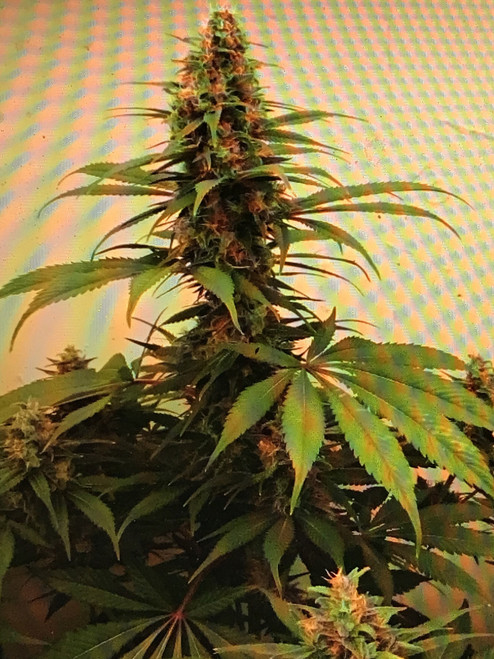 Sensi Star x DurbanSensi Star x Durban SENSI STAR DURBAN   The 1995 Sensi Star line features the classic ripping potency that made Sensi Star famous. This is the regular seed version, one you won't find anymore - phenos range from Fresh/Menthol to Menthol Bubblegum to Lemony Diesely menthol. A serious treat and is a True Durban cross Durban is a sativa variety from Bean Brains can be cultivated indoors a flowering time of ±70 days This plant is excellent for producing exemplary concentrates of extreme potency (especially rosin). Heavy metallic terps are the norm. large yield Thick and fruity flavor profile