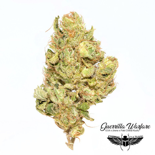Guerilla Warfare This GG #4 hybrid brings both the fuel and classic Kush pungent flowers paired with a unique flavored exhale. Strong vigorous branching will require training methods of your choice to help even the canopy. Gorilla Warfare is a  variety and can be cultivated indoors, or outdoors and in the greenhouse.  Thick and dank gorilla meets sweet citrus and grape fire. Gorilla Warfare combines the heavy and chemmy Gorilla Glue #4 with super-fast-flowering . Expect GG#4 style colas with a speeded up flowering time and an amped up terpene profile. Sativa dominant. 