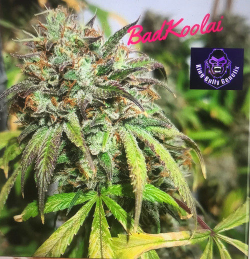 """Dank Amigo Bad Koolaid  funky Sour is a brand new hybrid created from the famous Sour Sage. It is a long-internode indica-sativa cross, with long buds and great resin production.  It is great for indoor and outdoor, and can be easily grown through a net (SCRoG) or pruned to achieve wider, bushier structure. The plant loves a high-EC feeding schedule, The aroma and taste are very intense, sour and pungent, with notes of berries.  It's is easy to grow and early. It is more productive than other OG phonemes, but with the same gassy smell. This is a powerful strain that won't leave you hanging when it comes to stem strength. Originally from northern California and a mainly Indica plant, OG Kush is one of the most popular varieties in the USA. Its true genealogy is totally unknown. Some say that OG Kush is a cross between ChemDawg, a Thai Lemon and a Pakistani Kush. Others claim that it's no more than a special ChemDawg clone from the start of the 90s. There has also been some debate about the meaning of the name OG with some claiming that it stands for Original Gangster. However, based on its origins, most now believe that it means Ocean Grown. A compact, somewhat short plant with small, fairly wide leaves that stand out because of their unusual olive colour. It branches out well and is ideally suited to Super Cropping techniques. producing medium-sized, yet very compact buds  sticky Icky OG Kush, also known as """"Afgooey OG"""" to many members of the cannabis community, is an indica dominant hybrid (80% indica/20% sativa) strain that is a potent cross between Sticky Icky, also known as Afgooey, X OG Kush. This dank bud boasts a moderately high THC level, on average and a myriad of primarily indica effects. Sticky Icky OG Kush has a distinct aroma of pungent fruity pine and a taste of fruity pine with a sour lemon aftertaste upon exhale. The Sticky Icky OG Kush buds have fluffy medium sized dark olive green nugs with patches of neon green and dark olive green leaves. These n"""