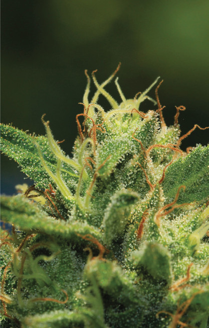Humboldt Seed Co. HUMBOLDT SOUR DIESEL ORIGINAL STRAIN    FLOWERING TIME 65 DAYS, October 5-20 SATIVA DOMINANT   ENERGIZING & ETHEREAL   AMAZING SOUR SMELL   Bx4  ORANGE   CINNAMON   SKUNK      Humboldt Sour Diesel  Bred by Humboldt Seed Company, Humboldt Sour Diesel is produced by crossing Sour Diesel Bx3 andHumboldt Headband. It consistently grows dense green buds with a gassy flavor that resembles that of the classic Sour Diesel. Providing a wonderfully euphoric high, Humboldt Sour Diesel is a great choice for anyone looking for some creative inspiration.              FEMINIZED SEEDS     FLOWERING TIME 65 DAYS, October 5-20 STRAIN BENEFITS Sativa Dominant Easy to grow, will double in size during flower Extremely dense flower structure Expresses moderate mold resistance Skunky orange cinnamon aroma