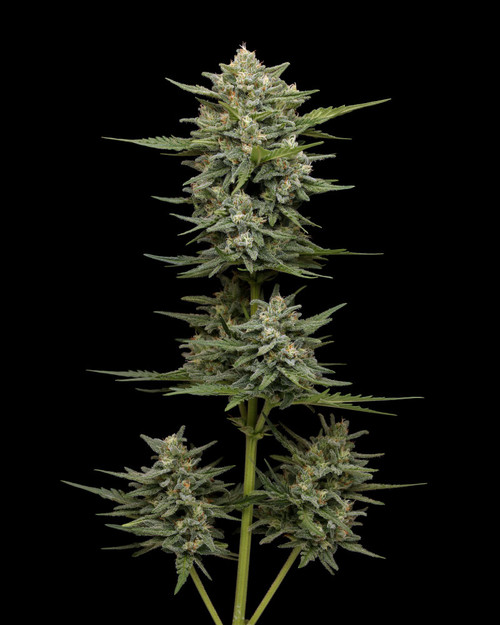 """VANILLA LATTE AUTOFLOWER ORIGINAL STRAIN AUTOFLOWER SEEDS FLOWERING TIME 80 – 90 Days From Germination   INDICA  AVG. THC 25-30%  MINOR VARIATION CREAMY VANILLA     Vanilla Latte Autoflower  If you think Autos aren't as good as photoperiods, think again! One of our """"crossbreed to auto"""" creations, made from Vanilla Frosting and Sol Mate Auto, this new strain captures the wonder, flavor, and high THC of Vanilla Frosting. The wide chunky buds that autos are known for lets Vanilla Latte look great in a nug jar. Great for the basement, backyard, or even the balcony, we're so excited we've got the jitters!          AUTOFLOWER SEEDS   FLOWERING TIME 80 – 90 Days From Germination   STRAIN BENEFITS Indica Average THC 20%-25% Wide chunky buds"""