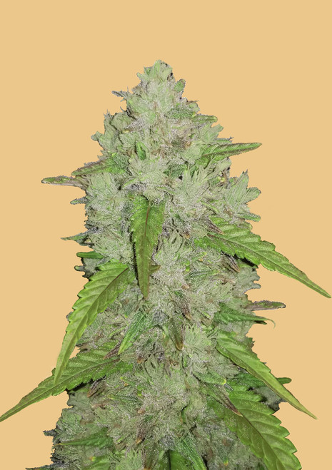 Original Haze  reg m/f 5 pack Pure Sativa Stabilized Hybrid, True-Breeding  Flowering Period:up to 14 weeks  Renowned taste and effect   excellent breeding parent  original Haze was created in the late 1970s from a combination of several Sativas, including a Mexican/Columbian, some Thai and South Indians. Despite its long flowering time, this strain is acclaimed worldwide to have a taste and high superior to all other existing Cannabis strains. The flavour is typically sweet and sour and the high mildly psychedelic and uplifting.  Hybrids between Original Haze and your favourite strain will often yield offspring that are higher in THC then either parent. This strain is for would-be breeders and connoisseurs.They have worked with this variety in Holland for more than 20 years now. It is the base for all the Haze you can find . Since being stabilized in the late 70's The Original Haze has never been hybridized. Perfect for breeding projects due to its pure breeding status. For commercial growers this strain is not recommended due to its size and long maturation time. Very potent with an energetic cerebral high. Special breeding stock. Very resinous, large fluffy buds with a sweet and sour taste. The only original pure Haze available.  THC:10% - 20%  Original Haze is a 100% pure sativa strain bred as a wide variety of different sativas, includingMexican, Columbian,Thai, andSouth Indianvarieties. The result is a powerful and well-balanced sativa strain packed full of THC and sweet hazy flavors. Original Haze has a classic sweet and spicy haze flavor with a sour tang on each exhale. The aroma is very spicy and herbal with an earthy haze overtone accented by touches of sour citrus. The high comes on with a slowly building effect that finds its home behind your eyes with a lifted slightly energized effect. This sense of cerebral energy grows insanely fast after this slow build, launching you into a euphoric state that can become psychedelic at times. Because of this heavy 