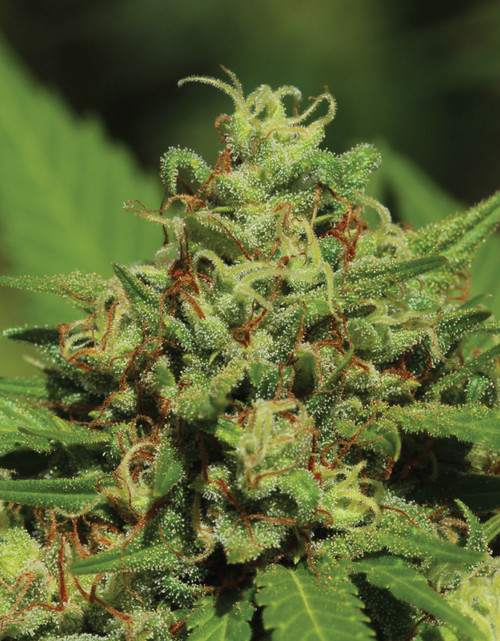 Humboldt Seed Co. EMERALD FIRE OG LEGENDARY STRAIN feminized 10 pack   BALANCED INDICA AND SATIVA   RELAXING AND UPLIFTING   LARGE DENSE NUGS COVERED IN RED HAIRS   THC 23-28% CBD .04%   F4  EARTHY   PUNGENT   CITRUS  FEMINIZED SEEDS   FLOWERING TIME 60 DAYS, October 1-15   Emerald Fire OG  Imagine a sleepy fireplace on a cold, rainy day, inviting you to sit and unwind in the slow warmth it offers – this is the kind of fire channeled by our Emerald Fire OG. This plant offers large, dense nugs, covered in orange fiery hairs making it true to the name. This smooth, lemony, and piney smoke will make you sit back and soak in the environment around you.            STRAIN BENEFITS Balanced Indica and Sativa Large dense colored in red hairs Average THC 23%-28% FEMINIZED SEEDS     FLOWERING TIME 60 DAYS, October 1-15