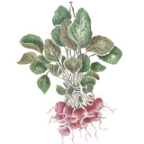 Hanging Radishes Wall Stencil by DeeSigns