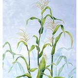 Corn Stalk Wall Stencil by The Mad Stencilist
