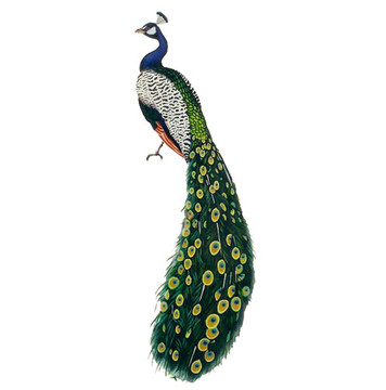 Peacock by Jeff Raum