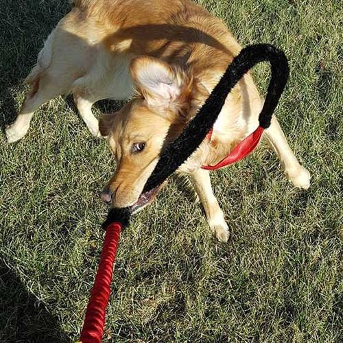 Martingale tug dog leash.