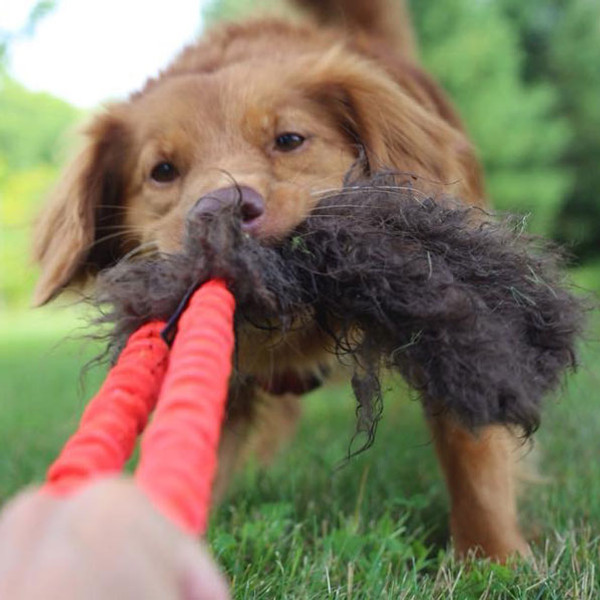 Buffalo fur stick dog tug toy for agility or flyball.