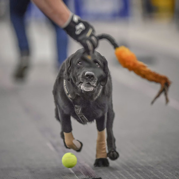 The ideal flyball tug toy