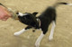 Logic, 10-week old Border Collie puppy, playing with the Bunny Mouse
