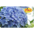 Digital Hydrangea eGift Card