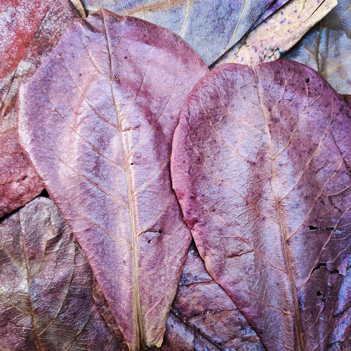 Indian Almond Leaves (10 Pack)