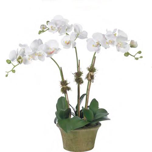 Diane James Blush Phalaenopsis 3 Stems In Mossed Berkshire Planter