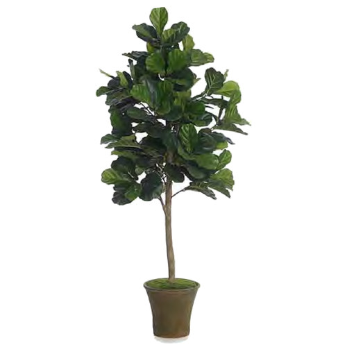 Diane James Fiddle Leaf Fig Tree 6 Feet In Mossed English Planter