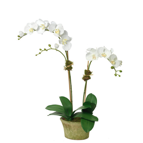 Diane James Phalaenopsis Orchid 2 Stems In Mossed Pot