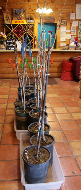 Plant your own pistachio trees- For Sale now