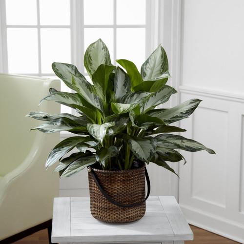 TheChinese Evergreen
