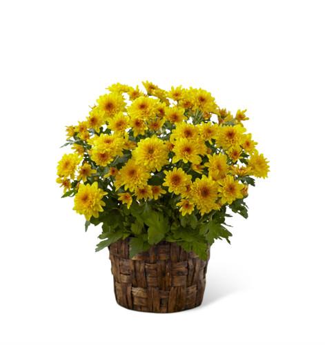The Chrysanthemum