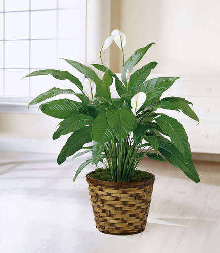 The Spathiphyllum, or more commonly known as the Peace Lily, is a beautiful plant to help convey your wishes for tranquility and sweet serenity. An ideal gift for most occasions, this lush plant displays white conical blooms perfectly presented in a r