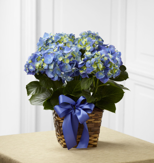 TheBlue Hydrangea Planter is a lovely way to lighten and brighten their day! Flowering with brilliant blue blooms against dark green foliage, this stunning hydrangea plant arrives presented in a square natural woven container accented with a violet s