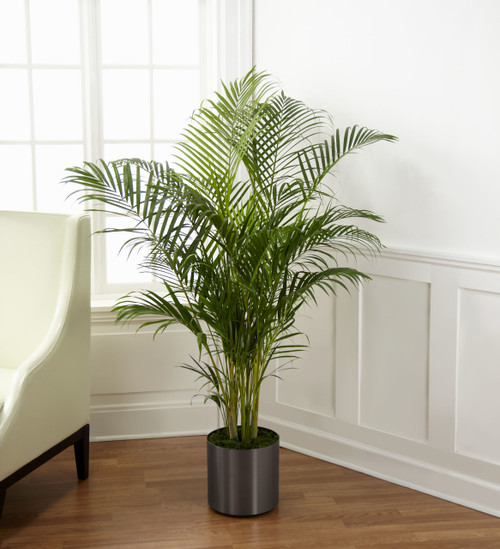 """ThePalm Plant brings natural beauty to any space with its incredible lush foliage. Known for their attractive splayed green leaves, this large plant arrives presented in a round graphite container to make it an ideal fit for any interior décor. 10"""" p"""