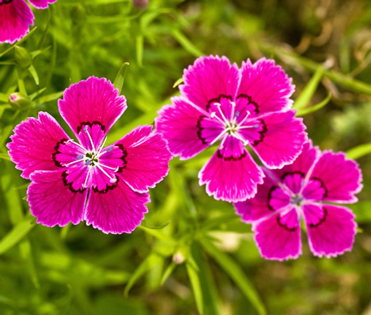 Dianthus Deltoides – Maiden Pinks