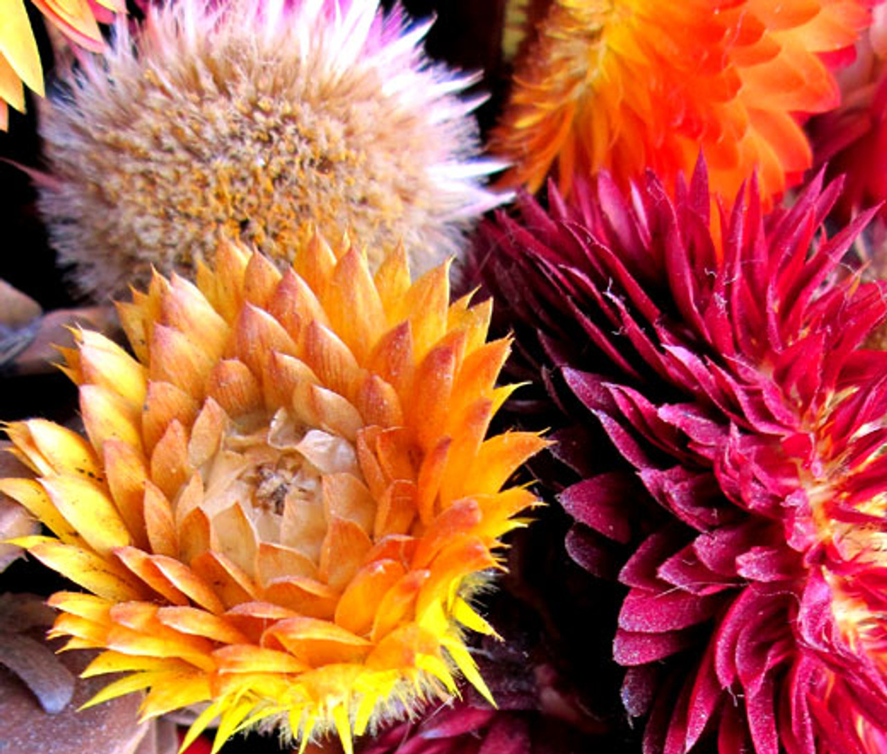 Strawflower Paper Daisy Helichrysum Monstrosum Seeds