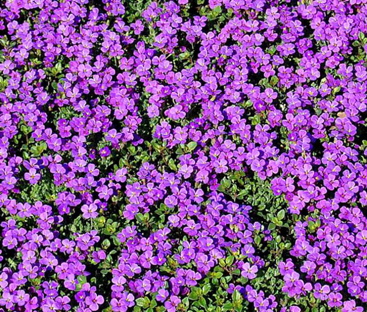 Cascade Red Flower Aubrieta Hybrida 200 Seeds